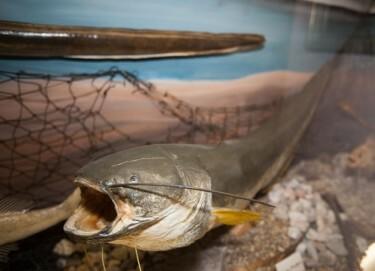 Abteilung Fischerei und Fischfang - der Stör