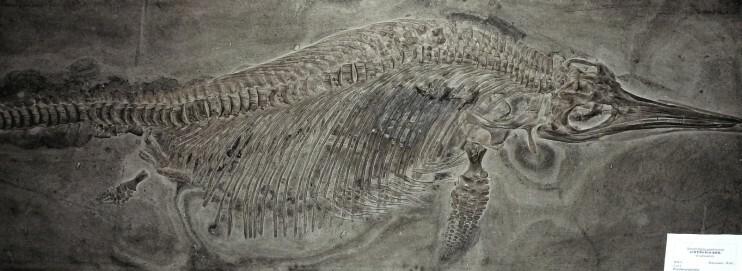 Ichthyosaurier, Holzmaden, Baden-Württemberg