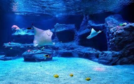 Kuhnasenrochen im Aquazoo