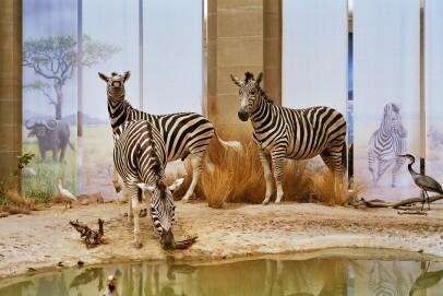 """Zebras im Ausstellungsbereich """"Savanne"""""""