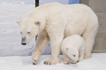"""Eisbärweibchen mit Jungtier im Ausstellungsbereich """"Arktis/Antarktis"""""""