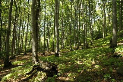 Der Buchenwald auf dem Petersberg gehört zum Nationalen Naturerbe